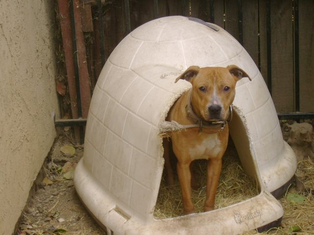 AMP's Males/Studs/Sires - ABILITY MADE PITS (AMP) KENNELS